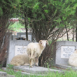 Sheep help keep the grass tidy in the Jewish cemetery in Făgăraș. CREDIT: Benjamin Fox-Rosen.